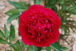 Peonies-Red-charm