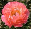 Peonies-Coral-sunset